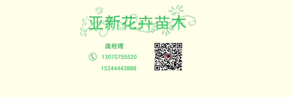 四季海棠批发专业育苗基地