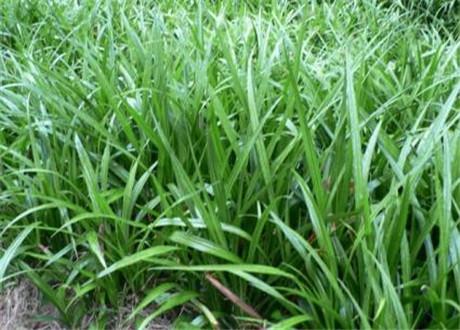 玉带草,玉带草小苗批发,玉带草小苗基地,玉带草小苗价格