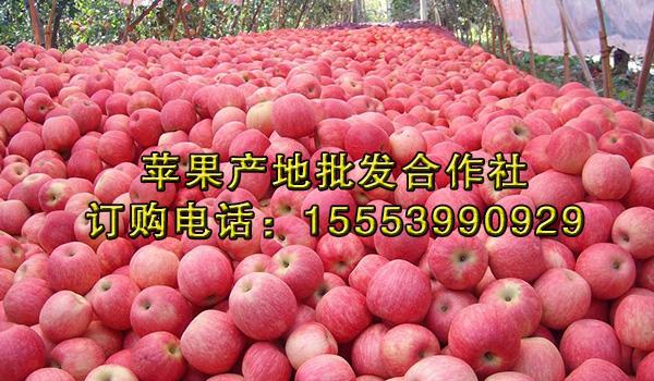 美八苹果批发价格_洛川嘎啦苹果批发行情_山东益农水果