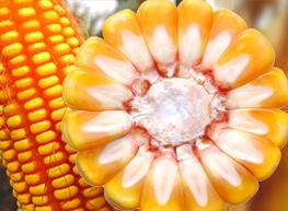 玉米品种选择哪家好_北京禾佳源