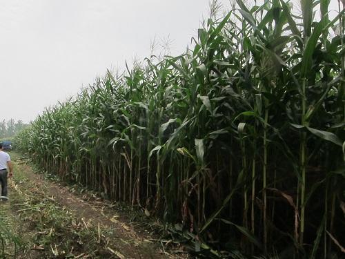 全株青贮玉米一亩产量收益多少_北京禾佳源