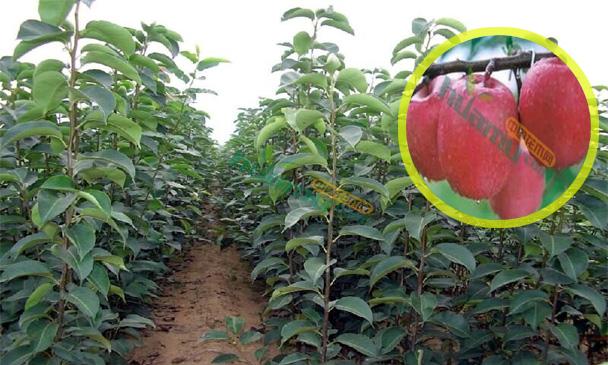 辽宁梨苗种植基地