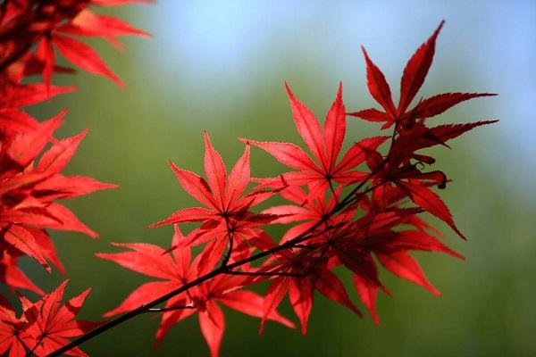 红枫苗木放心选择