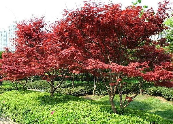 观赏性强14公分美国红枫价格