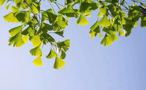 采购批发10公分银杏树价格毛球价格