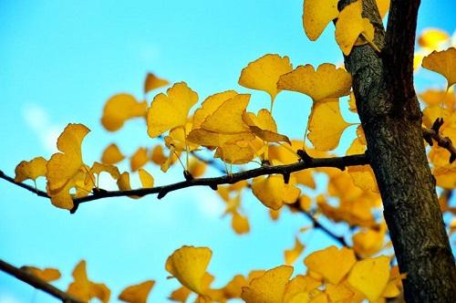 23公分银杏树育苗方法销售基地