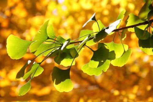 观赏性强30公分银杏树价格图片大全