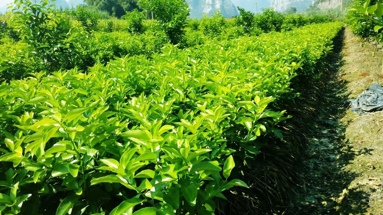 绍兴柑橘种苗品种