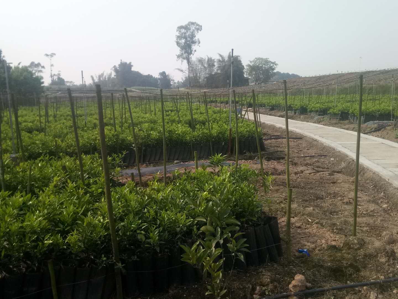 上海了解自贡柑橘生长过程